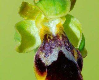 Ophrys x pozoi, nuevo híbrido de orquídea para Andalucía Oriental