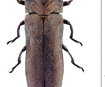 Nueva especie (Buprestidae) para la ciencia en Cádiz