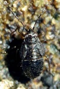 Orthophrys pygmaeum (ninfa)