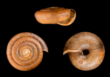 Nueva especie de caracol para la provincia de Cádiz