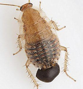 Dos nuevas especies de cucarachas endémicas de Cádiz