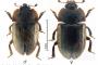 Nuevas citas de coleóptero alóctono en Andalucía