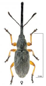 Rhopalapion longirostre (foto: A. Verdugo)