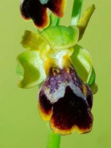 Ophrys x pozoi